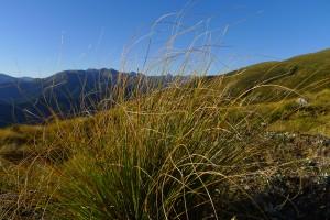 Allüberall die Tussock-Gräser in den Eyre-Mountains